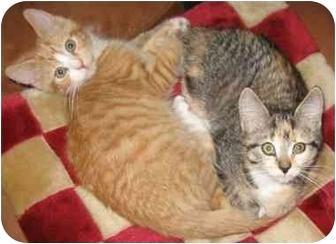 Domestic Shorthair Kitten for adoption in Medford, Massachusetts - Jamaica