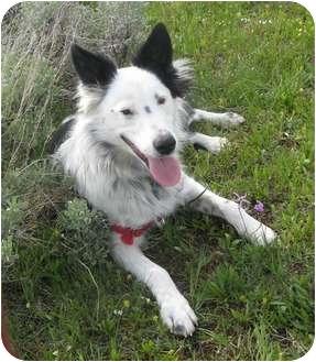 Border Collie Mix Dog for adoption in Glenrock, Wyoming - Keene