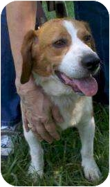 Beagle Mix Dog for adoption in Delaware, Ohio - Opie