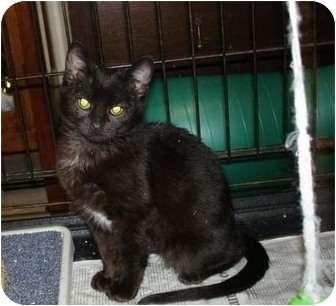 Domestic Shorthair Kitten for adoption in Overland Park, Kansas - Jazzy