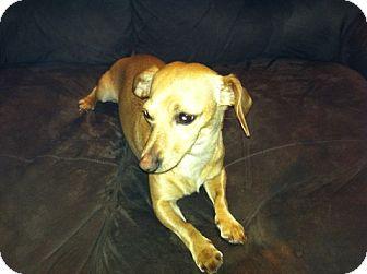 Dachshund/Chihuahua Mix Dog for adoption in Seattle, Washington - Manchas #331