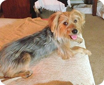 Yorkie, Yorkshire Terrier/Silky Terrier Mix Puppy for adoption in Miami, Florida - Houston