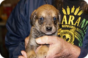 Catahoula Leopard Dog Mix Puppy for adoption in Conway, Arkansas - Toby aka Stella 10