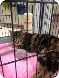 Domestic Shorthair Cat for adoption in Columbus, Georgia - Reagan 5B0C
