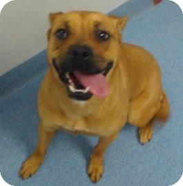 Boxer/Pug Mix Dog for adoption in Gainesville, Florida - Gertie