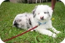 Australian Shepherd Puppy for adoption in Spring City, Tennessee - Kepler