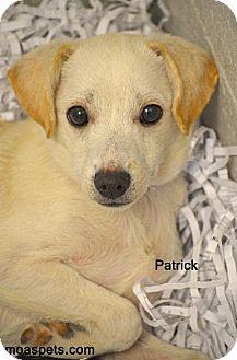 Chihuahua Mix Puppy for adoption in Danielsville, Georgia - Patrick
