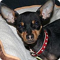 Adopt A Pet :: Rizzo - Commerce City, CO