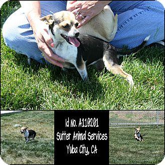 Chihuahua Mix Dog for adoption in Yuba City, California - 04/17 Mini