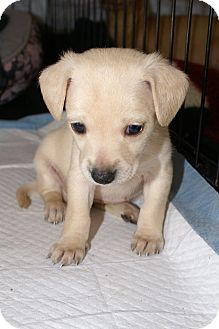 Chihuahua/Fox Terrier (Toy) Mix Puppy for adoption in Huntington Beach, California - Heidi