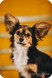 Dachshund/Papillon Mix Puppy for adoption in Portland, Oregon - Cookie