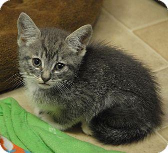 Domestic Shorthair Kitten for adoption in Winchendon, Massachusetts - Camilla