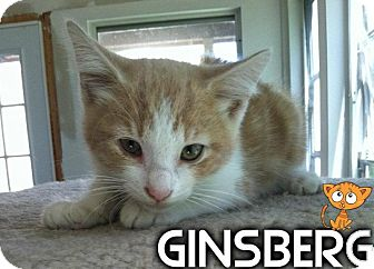Domestic Shorthair Kitten for adoption in River Edge, New Jersey - Ginsberg