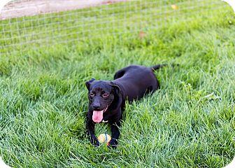 Boxer/Labrador Retriever Mix Dog for adoption in Toledo, Ohio - Buffalo Bill