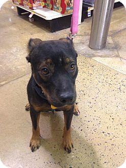 Terrier (Unknown Type, Medium)/Rottweiler Mix Dog for adoption in Nichols Hills, Oklahoma - Mr. Brown