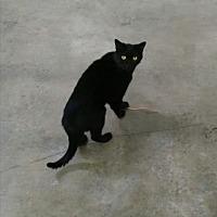 Adopt A Pet :: Perez Luis - Pineville, NC
