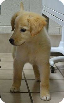 Golden Retriever Mix Puppy for adoption in Knoxville, Tennessee - Kaylee