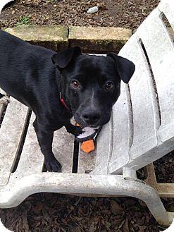 Labrador Retriever Mix Puppy for adoption in Austin, Texas - Rocko