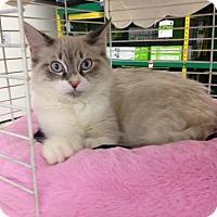 Adopt A Pet :: BigBoy - Dallas, TX