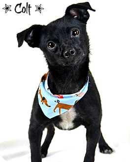 Terrier (Unknown Type, Small) Mix Dog for adoption in Jackson, Mississippi - Colt & Wesson