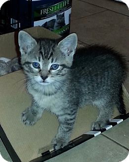 Domestic Shorthair Kitten for adoption in River Edge, New Jersey - River