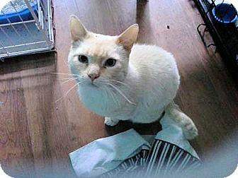 Siamese Cat for adoption in El Dorado Hills, California - Will