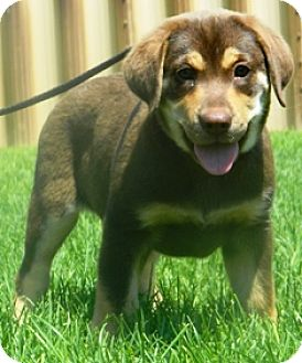 Black and Tan Coonhound/Beagle Mix Puppy for adoption in Columbus, Nebraska - Queenie