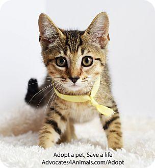 Domestic Shorthair Kitten for adoption in Xenia, Ohio - Taffy