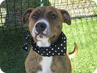 American Pit Bull Terrier/Terrier (Unknown Type, Medium) Mix Dog for adoption in Cumming, Georgia - Noel