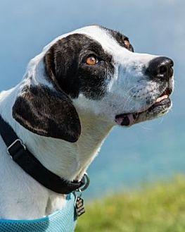 Labrador Retriever/Hound (Unknown Type) Mix Dog for adoption in Loxahatchee, Florida - Curby 307