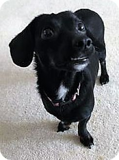 Dachshund Mix Dog for adoption in Fairfax, Virginia - Lady