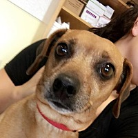 Dachshund Mix Dog for adoption in Chico, California - Janel
