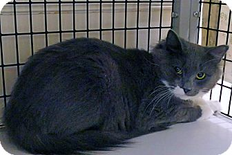 Domestic Shorthair Cat for adoption in Victor, New York - Valerie