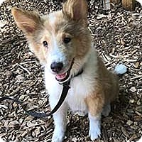 Collie Mix Puppy for adoption in Chantilly, Virginia - Allison's Collie Zook