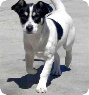 Jack Russell Terrier Mix Dog for adoption in Palmdale, California - Shirley