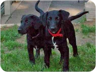 Labrador Retriever Mix Puppy for adoption in New Fairfield, Connecticut - Patty
