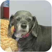 Dachshund/Schnauzer (Standard) Mix Dog for adoption in Denver, Colorado - Charlene