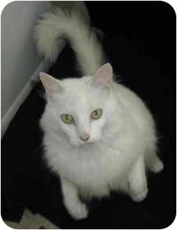 Turkish Angora Kitten for adoption in Palm Bay, Florida - Dutchess