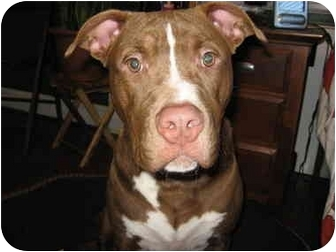 American Pit Bull Terrier/Labrador Retriever Mix Dog for adoption in Reisterstown, Maryland - Bronx