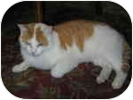 Domestic Shorthair Cat for adoption in West Dundee, Illinois - Sampson