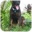 Photo 1 - Labrador Retriever Mix Puppy for adoption in Miami Beach, Florida - Sheina,Fl