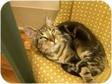 Domestic Shorthair Cat for adoption in Medina, Ohio - Winston