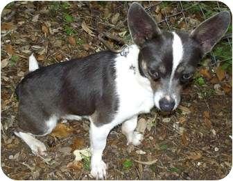 Chihuahua Mix Dog for adoption in Bandera, Texas - Cheech