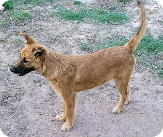 German Shepherd Dog/Labrador Retriever Mix Puppy for adoption in Waller, Texas - Sienna