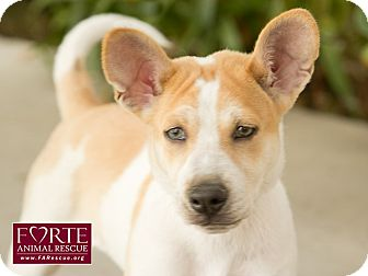 Canaan Dog/Australian Cattle Dog Mix Puppy for adoption in Marina del Rey, California - Lil' Buddy