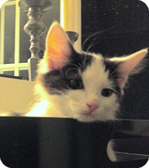 Domestic Mediumhair Cat for adoption in Los Angeles, California - Byron-video!