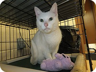 Domestic Shorthair Cat for adoption in Brownstown, Michigan - Dezi
