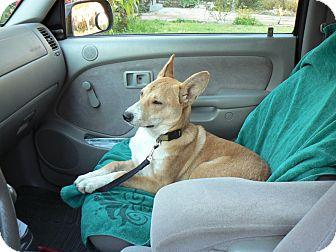 Labrador Retriever/Shepherd (Unknown Type) Mix Puppy for adoption in San Francisco, California - PATTY