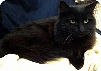 Domestic Mediumhair Cat for adoption in Alexandria, Virginia - Indigo