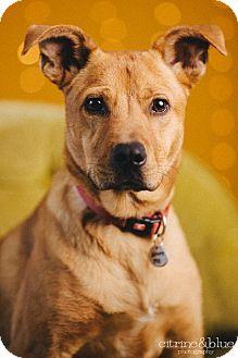 German Shepherd Dog Mix Dog for adoption in Portland, Oregon - Derby